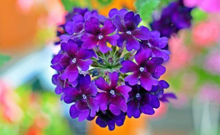 Цветы вербена – посадка и уход, фото