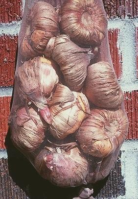 Посадка и уход за гладиолусами 40 фото как сажать в открытом грунте и ухаживать за ними весной Как выращивать на Урале Правильная подготовка луковиц к зиме