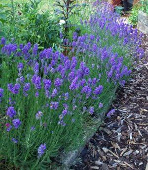 Какую почву любит лаванда кислую или щелочную