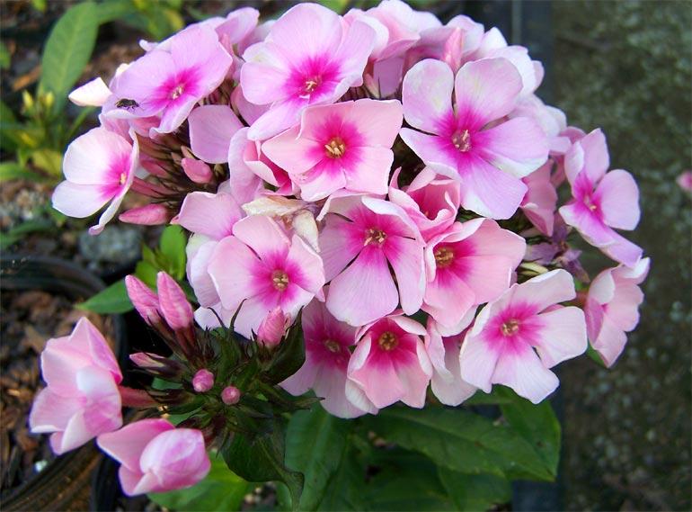 Флоксы на клумбе: фото цветов и сочетаемость с другими растениями