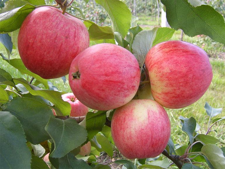 Особенности и описание яблони Штрейфлинг