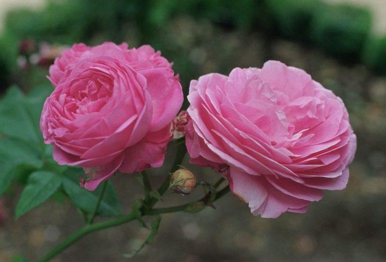 Розы с маленькими бутонами как называются
