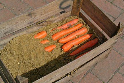 Как хранить урожай моркови до весны
