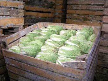 Как правильно хранить капусту в погребе до весны