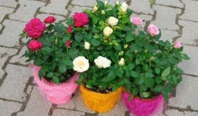 Как называется цветок большой как роза