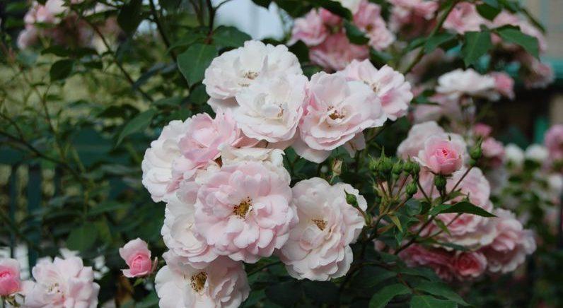 Сорта роз: описания и фото с названиями