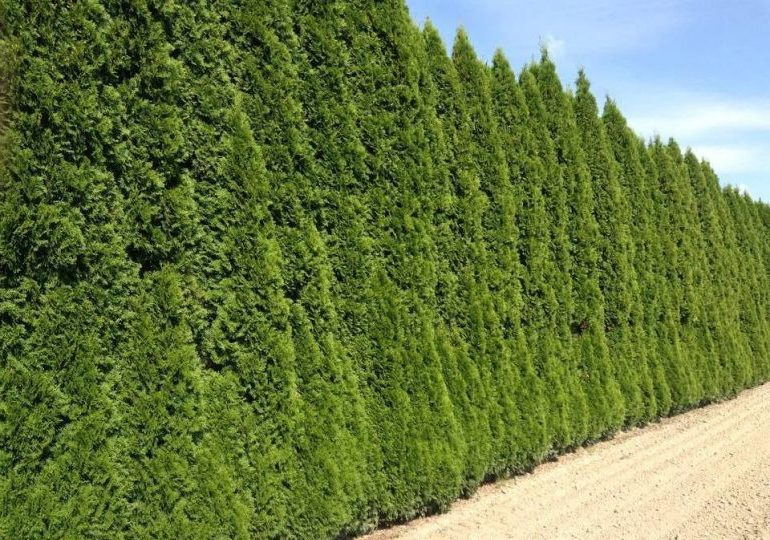 Деревья для живой изгороди