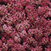 Алиссум многолетний: описание и сорта, посадка и уход