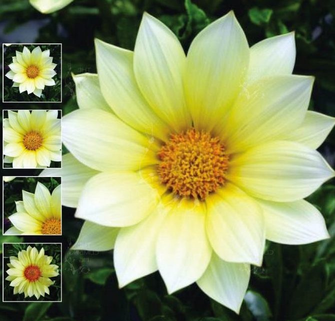 Можно ли гацанию выращивать как комнатный цветок?
