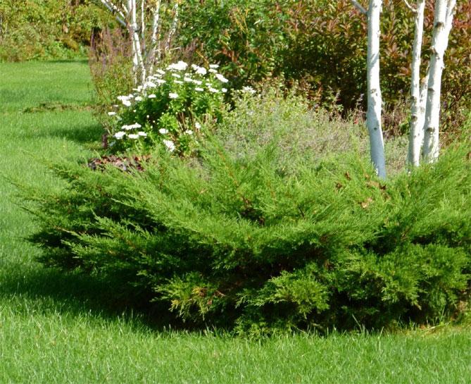 Можжевельник фото дерева и листьев