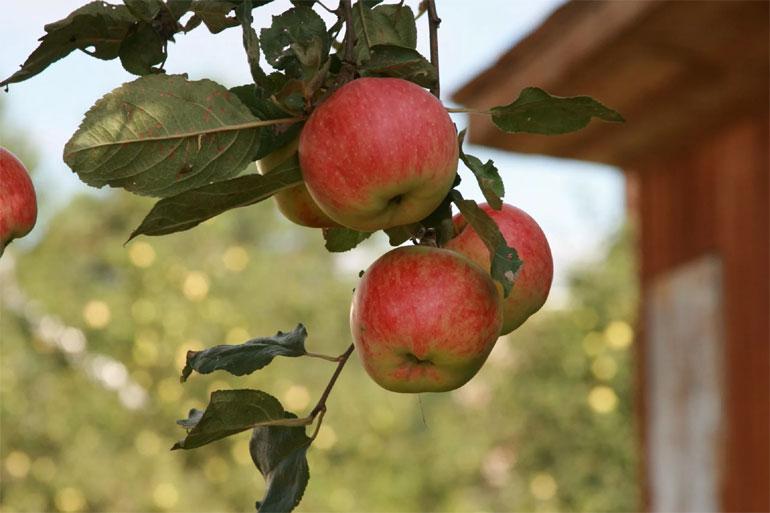 Зимние сорта яблонь для подмосковья с фото