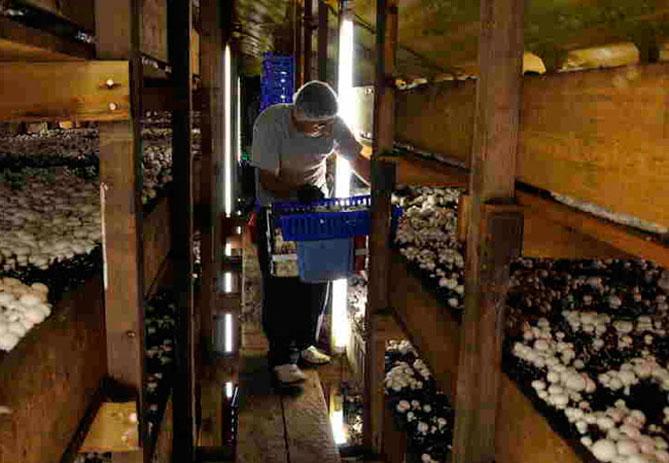 Можно ли выращивать шампиньоны в квартире
