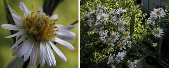 Астры- описание, посадка, выращивание и уход