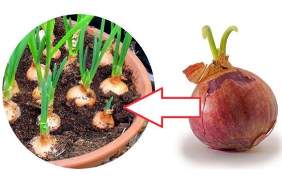 Как выращивать лук на подоконнике
