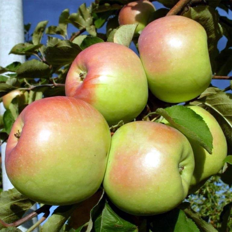 Яблоня орловское полесье описание фото отзывы — Сайт о даче