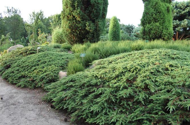 Можжевельник обыкновенный (45 фото): ботаническое описание. Как подстричь? Правила посадки и ухода