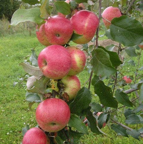 Фото и описание яблони Мельба посадка уход полив и подкормка видео
