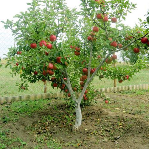 Яблоня ред мельба описание фото отзывы