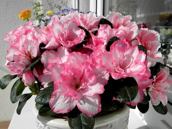 Какие цветы выращивают на балконе – фото и названия