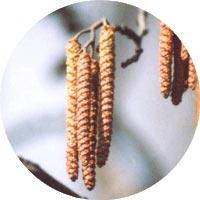 Ольха: лечебные свойства и противопоказания, применение