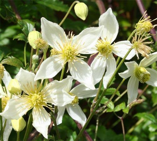Клематис с мелкими белыми цветами название