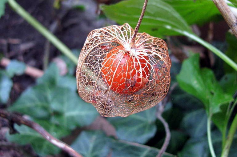 Физалис – выращивание и уход, фото