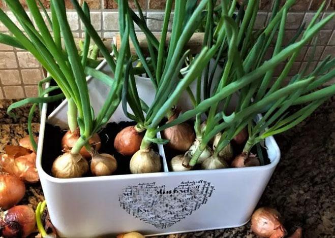 Как выращивать зеленый лук в домашних условиях зимой?