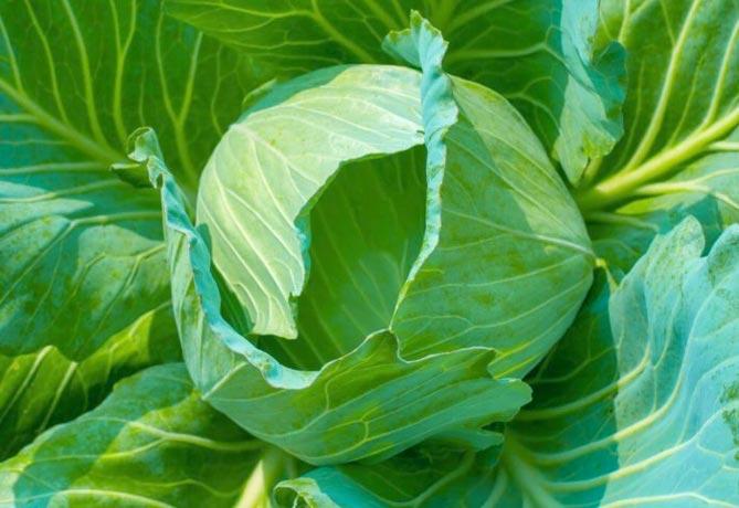 Разновидности капусты с описанием и фото