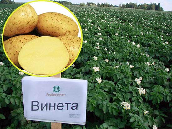 Картофель Жуковский: описание и характеристика сорта, сроки, фото
