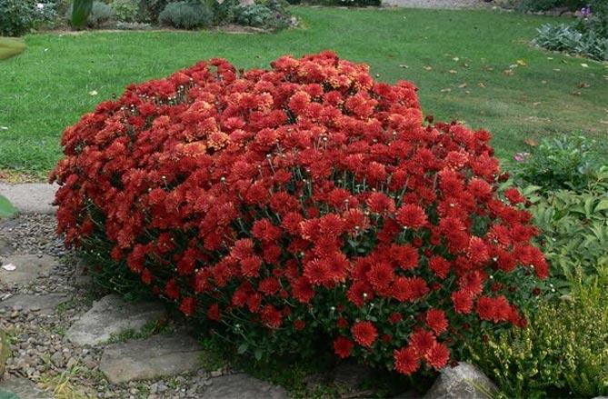 Хризантемы – посадка и уход в открытом грунте