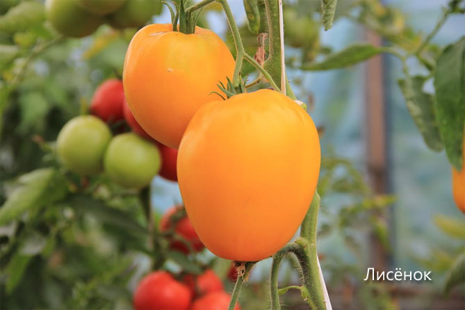 Самые популярные томаты для теплицы