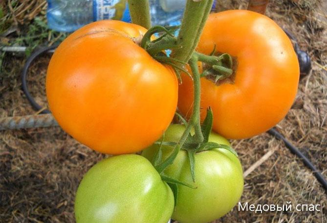 урожайные крупноплодные томаты для теплиц на урале