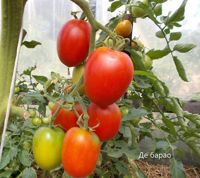 томаты кировской селекции для теплиц лучшие сорта