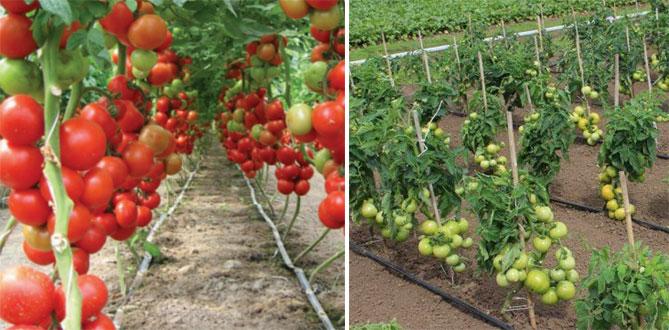 Новые сорта томатов в 2019 году: самые урожайные, для теплицы и открытого грунта