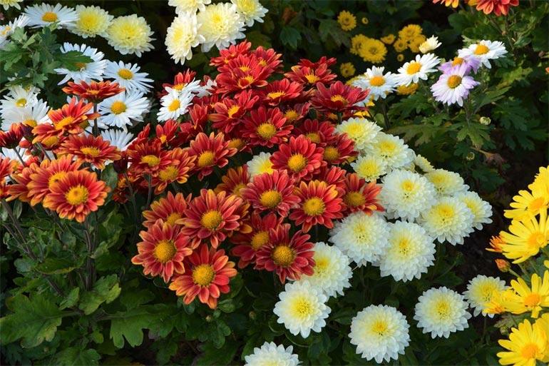Выращивание хризантем – размножение, посадка и уход в открытом грунте