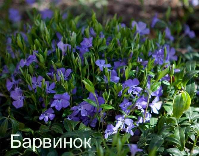 Теневыносливые растения для дачи
