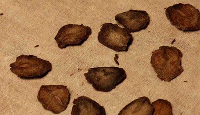 Кобея посадка и уход в открытом грунте на урале