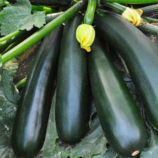 Кабачок Ролик описание и характеристика сорта отзывы садоводов с фото