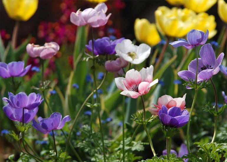 Описание и фото растения Ветреница