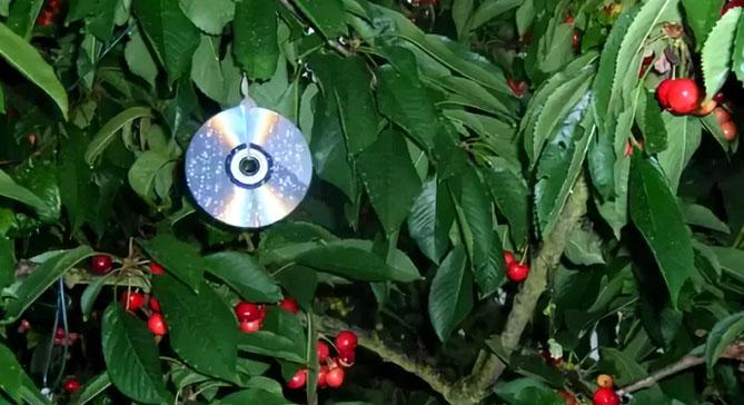 Черешня Ипуть: описание сорта