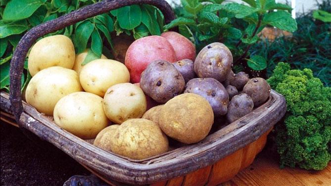 Лучшие российские сорта картофеля: посадка и уход