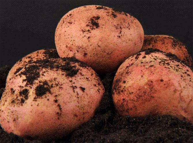 Высокоурожайные сорта и топ видов картофеля на сегодняшний день