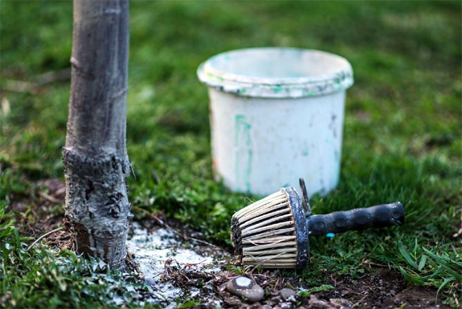 Зачем белят стволы деревьев: значение и правила побелки