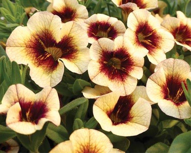 Как выращивать калибрахоа из семян