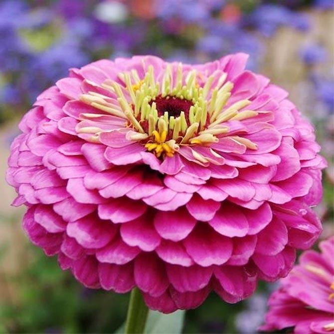 Циния – сорта с фото и описанием, карликовые, крупноцветковые
