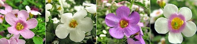 Бакопа ампельная – выращивание из семян в домашних условиях