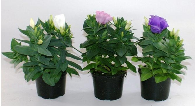 Эустома – выращивание из семян в домашних условиях, фото