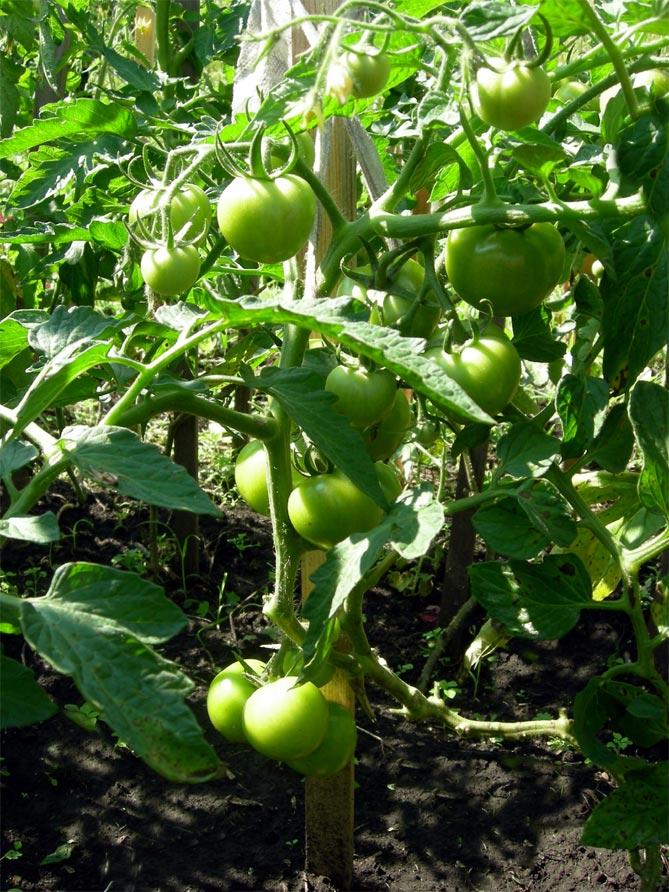 Семена помидор любаша