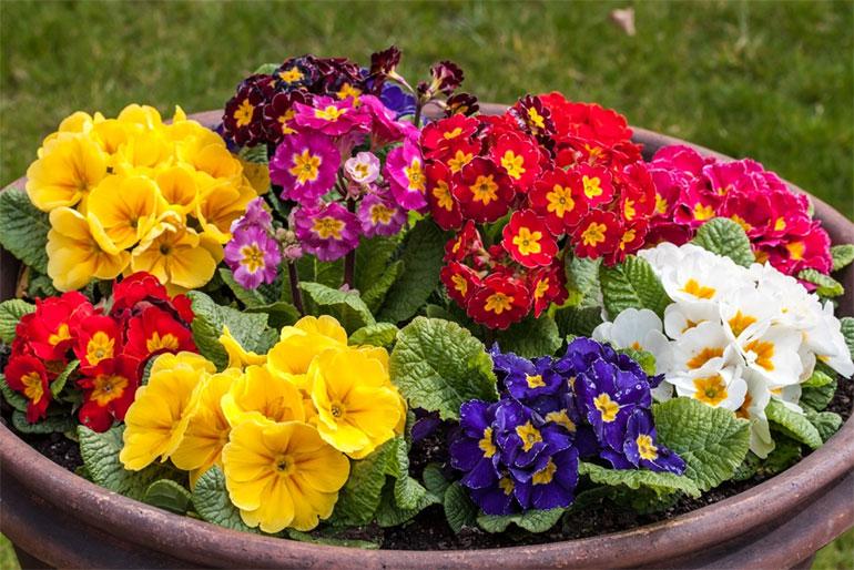 Сорта примулы садовой