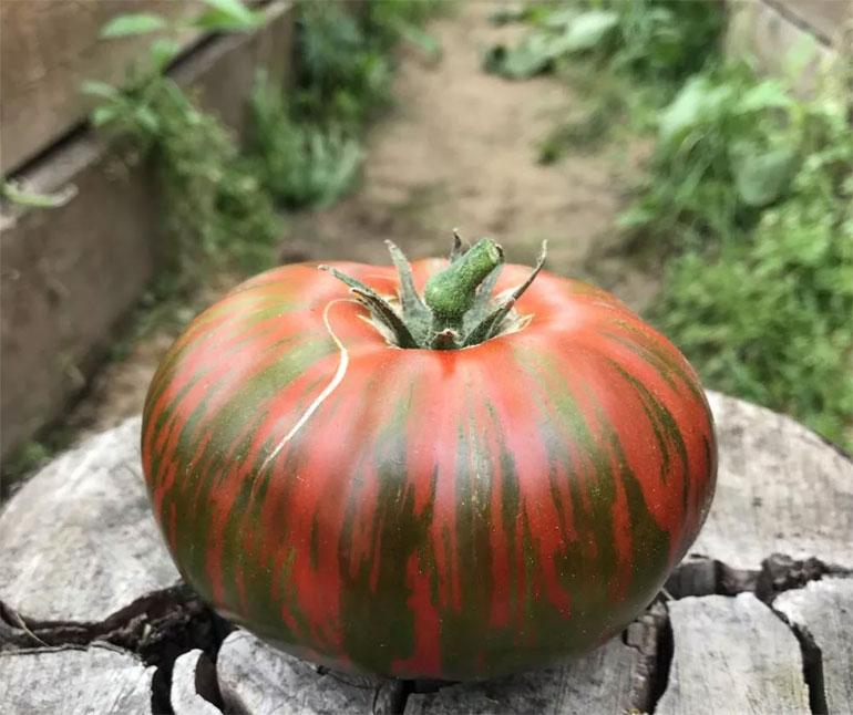 Томат Полосатый рейс описание сорта урожайность и выращивание с фото